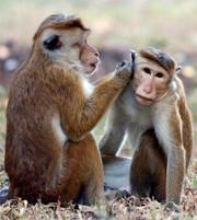 Macaquemonkeys_2
