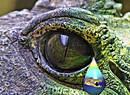 Crocodiletear