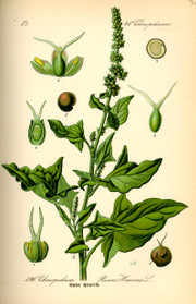 Illustration_chenopodium_bonushenri