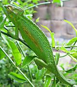 Bradypodion_pumilum_cape_chameleon_