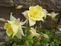 Columbineyellowswanflowerscloseupdi